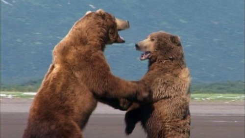GrizzlyManFight